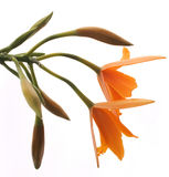 Orquídea alaranjada (Lelia) isolada no branco Imagem de Stock