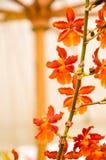 Orquídea alaranjada no fundo branco fotografia de stock