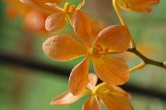 Orquídea alaranjada pequena da cor Fotografia de Stock Royalty Free