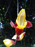 Orquídea amarela Fotografia de Stock