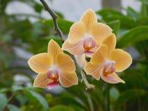 Orquídea amarela imagem de stock royalty free