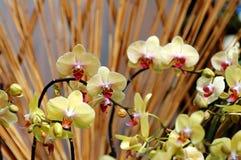 Orquídea amarela Imagens de Stock