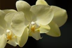 Orquídea amarela imagem de stock
