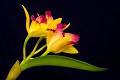 Orquídea amarela Imagens de Stock Royalty Free