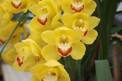 Orquídea amarela Foto de Stock Royalty Free