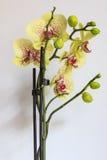 Orquídea amarela bonita Foto de Stock Royalty Free