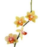 Orquídea amarela bonita isolada Fotos de Stock Royalty Free