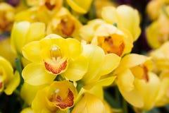 Orquídea amarela da flor na imagem horizontal Imagem de Stock Royalty Free