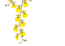Orquídea amarela do oncidium imagem de stock