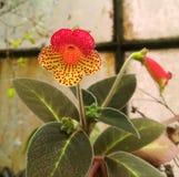 Orquídea amarela e vermelha com pontos vermelhos Fotografia de Stock Royalty Free