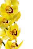 Orquídea amarela isolada foto de stock