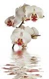 Orquídea amarela na água imagem de stock royalty free