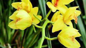Orquídea amarela no lado verde filme
