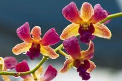 Orquídea (amarelo roxo) Fotografia de Stock Royalty Free