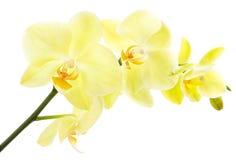 Orquídea amarilla Fotos de archivo