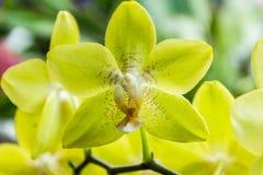Orquídea amarilla Imagen de archivo libre de regalías