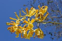 Orquídea amarilla Fotos de archivo libres de regalías