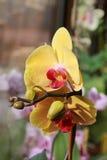 Orquídea amarilla Foto de archivo