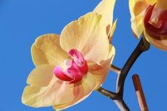 Orquídea amarilla Foto de archivo libre de regalías