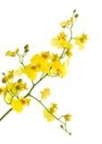 Orquídea amarilla brillante de Oncidium Foto de archivo