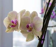 Orquídea amarilla clara en un travesaño de la ventana Fotografía de archivo libre de regalías