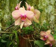 Orquídea amarilla clara y rosada Foto de archivo