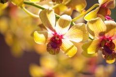 orquídea amarilla con los puntos rosados Fotografía de archivo