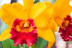 Orquídea amarilla de Cattleya fotografía de archivo