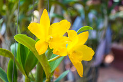Orquídea amarilla de Cattleya imagen de archivo