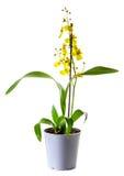 Orquídea amarilla de Oncidium Imágenes de archivo libres de regalías