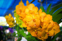 Orquídea amarilla de Vanda Foto de archivo libre de regalías