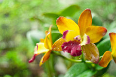 Orquídea amarilla del cattleya Imágenes de archivo libres de regalías