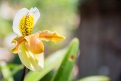 Orquídea amarilla del paphiopedilum foto de archivo