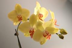 Orquídea amarilla del Phalaenopsis con el centro rosado Fotografía de archivo