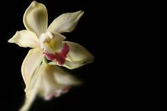 Orquídea amarilla en el fondo negro 2 del agua Foto de archivo libre de regalías
