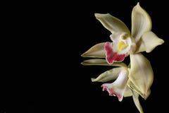Orquídea amarilla en fondo negro del agua Foto de archivo