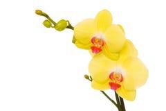 Orquídea amarilla hermosa Imagen de archivo libre de regalías