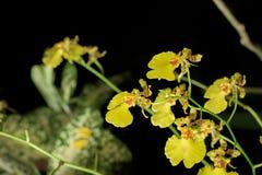 Orquídea amarilla hermosa imagenes de archivo