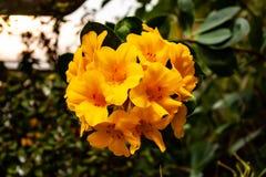 Orquídea amarilla hermosa - detalle de una flor de la planta de la casa foto de archivo libre de regalías