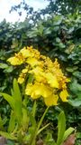 Orquídea amarilla natural srilanquesa imagen de archivo