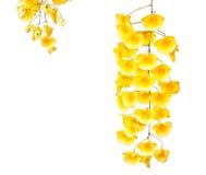 Orquídea amarilla, orquídeas fragantes de la miel Imagenes de archivo