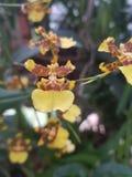 Orquídea amarilla srilanquesa foto de archivo