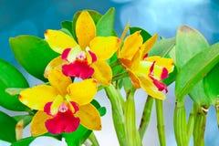 Orquídea amarilla y roja Imagenes de archivo