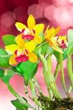 Orquídea amarilla y roja Imagen de archivo libre de regalías