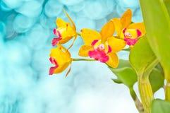 Orquídea amarilla y roja Fotografía de archivo