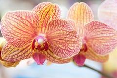 Orquídea amarilla y roja de Vanda fotografía de archivo libre de regalías