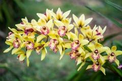 Orquídea amarilla y roja rara del cattleya Fotos de archivo libres de regalías