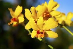 Orquídea amarillo-naranja en jardín foto de archivo libre de regalías
