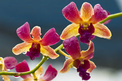 Orquídea (amarillo púrpura) Fotografía de archivo libre de regalías