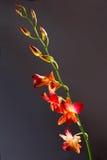 Orquídea anaranjada Imágenes de archivo libres de regalías